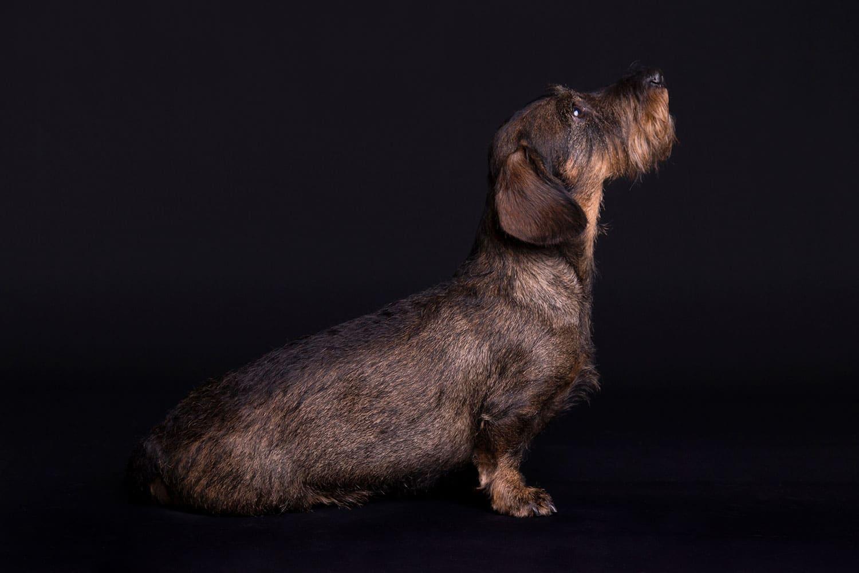 hond op zwarte achtergrond