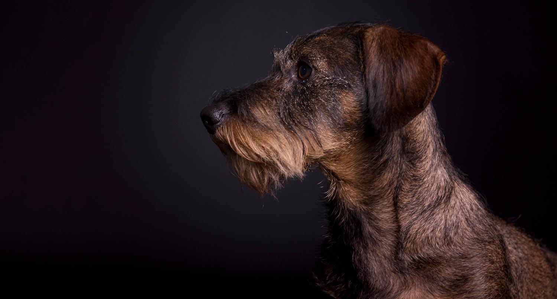hond zwarte achtergrond