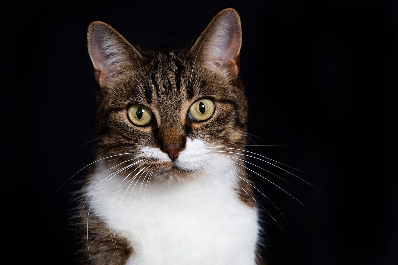 portret van kat in studio