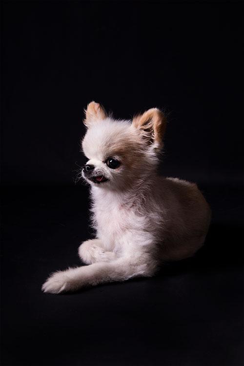 kleine hond zwart achtergrond