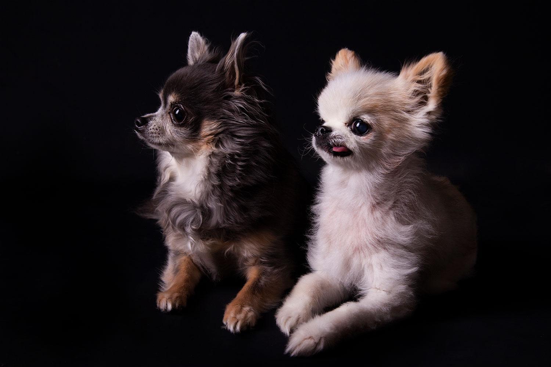 meerdere honden zwarte achtergrond