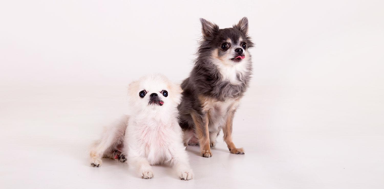 zwarte hond witte hond chihuahuas