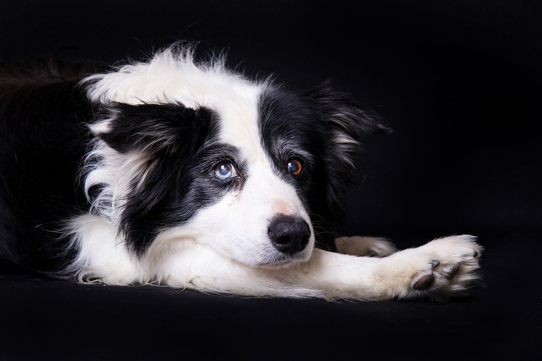 hondenfotografie zwart achtergrond