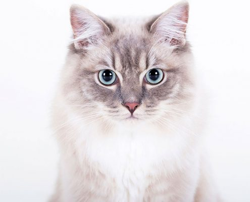Professionele kattenfotoshoot in de studio
