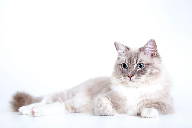 katten fotoshoot in studio